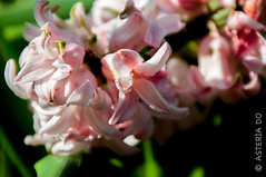 Hyacinths (Asteria D.) Tags: nature plant flower colorful hyacinth closeup