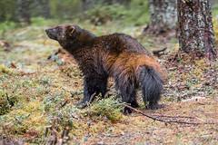 wolverine (barragan1941) Tags: fauna finlandia goloso mamiferos plantigrados
