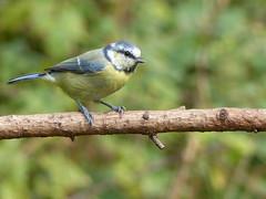 BLUE TIT  P1300693 (ianpreston) Tags: bluetit nationaltrust calkeabbey ticknall derbyshire 2016