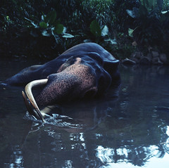 Majestueux. (Pupu :)) Tags: elephant srilanka sri bronica sq sqa squareformat 6x6 analogue analog argentique analoguesunrise apu analogic analogique ancien amazing eclairage exotic exotique extraordinaire defense pinnawela