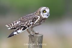 SEO (Megan Lorenz) Tags: uk greatbritain england bird nature outdoors wildlife surrey owl bwc predator avian birdofprey seo wildanimals shortearedowl mlorenz meganlorenz thewonderfulworldofbirds