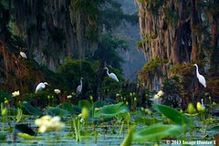 Great Egrets, Early Morning - Lake Martin, Louisiana (Image Hunter 1) Tags: birds louisiana birdslouisiana nature swamp bayou marsh greategret tree moss lily pad lotus flower mist fog perch perched green greenery water lake lilypad cypresstree spanishmoss morning dawn lakemartin cypressislanspreserve natureconservancy canont2i kayak kayaking