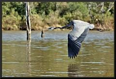 Squawking all the way (WanaM3) Tags: bird heron nature inflight texas wildlife bayou pasadena canoeing paddling greatblueheron a77 armandbayou avianexcellence sonya77 wanam3