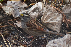 White-throated sparrow (psiegle) Tags: sparrow whitethroatedsparrow