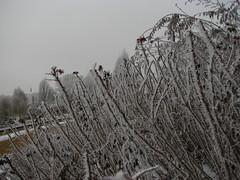 IMG_1376 (Marinyu..) Tags: winter ice bush minimal thorns coloured icecrystal jg tskk hoarycrystal