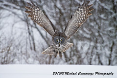 Great Gray Owl (Michael Cummings) Tags: brown ontario canada nature birds animals photography wildlife ottawa greatgrayowl wildlifephotographer birdpics naturephotography animalphotography wildlifephotography naturepics birdpictures animalpics animalphotograph naturephotograph michaelcummings wildlifepics wildlifephotograph blackbirdphotography greatgrayowlpictures greatgrayowlpics greatgrayowlphotography
