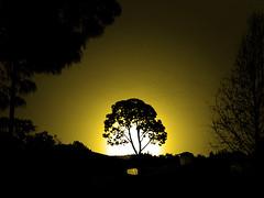 """audi nostra suspiria"" (ix 2015) Tags: tree yellow mxico mexico glow edited amarillo rbol duotone valledebravo editada fulgor edomex duotono israfel67 vindicatrix"