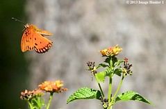 Gulf Fritillary/Lantana - Bayou Courtableau, Louisiana (Image Hunter 1) Tags: red orange plant flower green nature leaves yellow butterfly flying leaf wings louisiana bokeh flight bayou swamp bloom flowering marsh lantana wingspan wingspread canoneos7d bayoucourtableau
