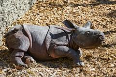 Lying baby rhino (Tambako the Jaguar) Tags: baby cute mammal zoo switzerland big nikon gray young basel rhino resting lying rhinoceros zolli d4