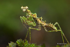 IMG_8607 Haania or Ceratohaania sp. (melvynyeo) Tags: moss mimic mantis praying malaysia labis macro mantises singapore night mimicking print haania or ceratohaania sp