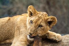 Lion cub (Jared Harley) Tags: animal zoo cub feline colorado wildlife lion denver denverzoo