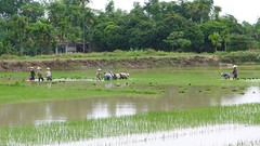 Women working the rice paddies, Hoi An, Vietnam (vtpoly) Tags: workers women rice paddy farmers farm harvest hats vietnam hoian planting paddies motorbikeadventures polywoda