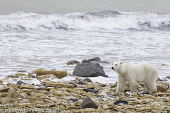 "Polar Bear in Churchill along the Hudson Bay. • <a style=""font-size:0.8em;"" href=""http://www.flickr.com/photos/92120860@N06/8453683499/"" target=""_blank"">View on Flickr</a>"