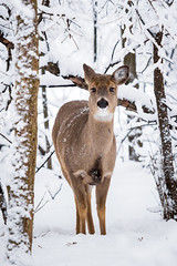 Walking through the Snow (jeff_a_goldberg) Tags: winter illinois unitedstates deer lakewood whitetaileddeer mundelein lcfpd highqualityanimals lakecountyforestpreservesdepartmentlcfpd