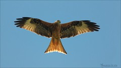 Embrace the Breeze (Maurizio De Vita) Tags: italy flickr molise redkite milvusmilvus nibbioreale