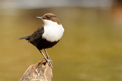 Black-bellied dipper [Explored] (amylewis.lincs) Tags: uk england bird nature animal nikon britain wildlife norfolk sigma british d3 2013 cincluscincluscinclus 150500mm