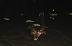 Freshwater Crocodile (Crocodylus johnstoni) (Heleioporus) Tags: creek timber crocodile northern territory freshwater crocodylus johnstoni