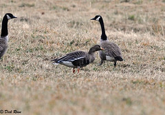 Greater White-fronted Goose 16 Feb 13 7 (VMI Biology Department) Tags: 16feb13