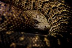 Coiled (Samuel Turley) Tags: house london canon eos zoo reptile snake 45 lizard 56 captivity 100300mm 50d f4556