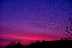 02-18-murmuration (Paul Sibley) Tags: sunset starlings nikond60