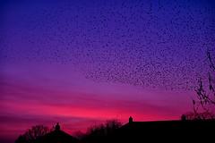 02-18-murmuration (Paul Sibley) Tags: sunset starlings nikond60