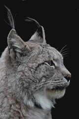 Lynx (K.Verhulst) Tags: cats amersfoort dierenparkamersfoort lynx vigilantphotographersunite vpu2 vpu3 vpu4 vpu5 vpu6 vpu7 vpu8 vpu9 vpu10 ruby10 ruby15 ruby20 rubyfrontpage kat cat