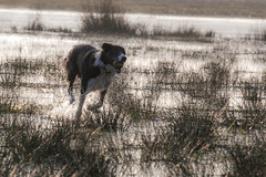 Quick, Return The Ball (Bas Bloemsaat) Tags: dog water action border bordercollie splash
