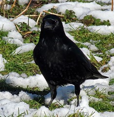 Kolkrabe (Corvus corax) Common Raven (Rolf Piepenbring) Tags: germany krefeld rabe commonraven kolkrabe photographyforrecreation