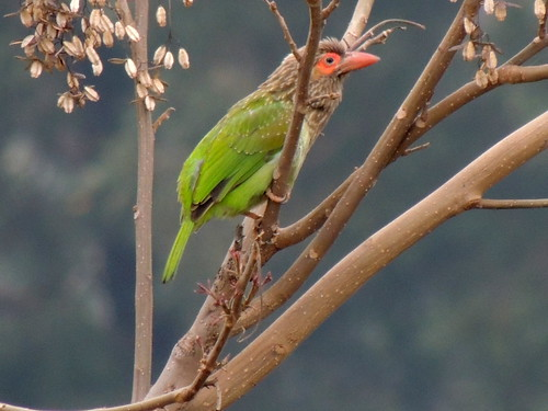 The Brown-headed Barbet  (Megalaima zeylanica) India