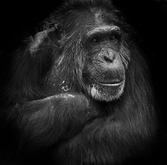 Chimpanzee B&W (Stephen Bridson) Tags: wild portrait blackandwhite nature animal blackbackground photography zoo photo nikon chimp wildlife sigma wildanimal chimpanzee onblack chesterzoo specanimal sigma70300mmdgmacro nikond3000