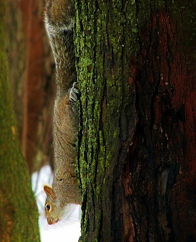 Vertical Squirrel