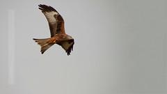 Red Kite Hanging (Nigel Jones LRPS) Tags: bird fly wings power flight raptor prey majestic graceful soar glide redkite mygearandme