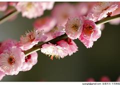 (Yang-SH) Tags: flower shanghai   plumblossom  xinzhuangpark