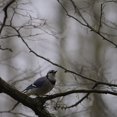 Foggy Day Blue Jay © - Day 52 of 365 (jeanne.marie.) Tags: foggy bluejay day52 throughmywindow day52365 3652013 365the2013edition 21feb13