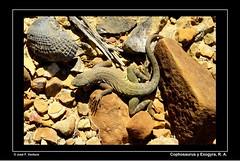 Dos Eras de vida (Sphenodiscus) Tags: coahuila reptil fósil ramosarizpe cophosaurus exogyracostata