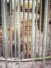 Dont look them in the eyes (Jorkew) Tags: mamiya netherlands colors bar fence mediumformat zoo rotterdam blijdorp bars 645 iron kodak vibrant lion nederland thenetherlands cage caged lions medium 80 160vc portra vc dier kodakportra160vc mamiya645 enclosure dierentuin kodakfilm zuidholland leeuw 160 80mm portra400vc leeuwen portra160vc 160asa diergaardeblijdorp diergaarde portra160 kodakportra mediumformatfilm mamiyasekor 8019 mamiyam645 m645 kodakportra160 mediumformatphotography 80mm19 jorke mamiyasekorc80mmf19 portra160film 160portra rotterdamblijdorp kodakportrafilm mamiyacamera mamiyamediumformat mamiya80mmf19 diergaardeblijdorprotterdam 645mediumformat mamiyasekorc mamiya8019 portrafilm mamiyafilm mamiyasekorc80mm 80f19 mamiyasekorc80mm19 jorkew mediumfilmphotography mamiyasekor80 mamiyafilmcamera