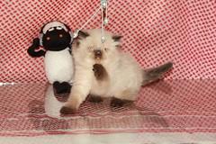 Cat9661 (33) (Cat9661) Tags: animals cat حيوانات مون قطط هاف بسة فيس شيرازي بيكي بساس هملايا