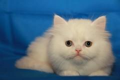 Cat9661 (74) (Cat9661) Tags: animals cat حيوانات مون قطط هاف بسة فيس شيرازي بيكي بساس هملايا