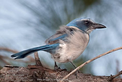 "Scrub Jay-8938<br /><span style=""font-size:0.8em;"">A scrub jay landed close by in a gust of wind</span> • <a style=""font-size:0.8em;"" href=""http://www.flickr.com/photos/18570447@N02/8547217758/"" target=""_blank"">View on Flickr</a>"