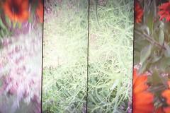 sage russian, rudbeckia (superdensity) Tags: camera autumn color film colors 35mm toy lomo lomography sampler action super sage russian rudbeckia multiframe perovskia