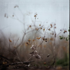 mini xmas tree (menanderman) Tags: plant tree 120 6x6 film nature landscape bokeh medium format 180mm