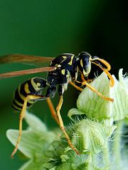 wasp (brescia, italy) (bloodybee) Tags: black flower macro green nature animal yellow bug insect wings wasp antennae inflorescence florescence pollination vespula vespidae vespulavulgaris hymenopteran hymenopter