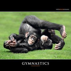 GYMNASTICS (Matthias Besant) Tags: animal animals laughing fun mammal deutschland monkey tiere funny gymnastics laugh giggle ape monkeys chimpanzee lachen mammals apes fell spass tier affen freude affe grinsen turnen schimpanse chimpanzees primat hominidae primaten freuen saeugetier saeugetiere menschenaffen hominoidea trockennasenaffe commonchimpanzee commonchimpanzees gemeinerschimpanse menschenartige mygearandme affenfell menschenartig affenblick rememberthatmomentlevel1 flickrsfinestimages1 gemeineschimpansen gewoehnlicheschimpansen gewoehnlicherschimpanse matthiasbesantphotography matthiasbesant