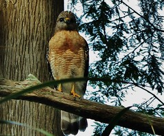 Red Shouldered Hawk (Cathi I Edinger) Tags: circlebpreserve