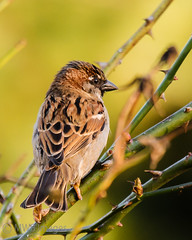 Golden Hour Sparrow (mwbergeron01) Tags: bird sparrow thorns housesparrow goldenhour