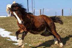 (Markus Hill) Tags: winter horse animal canon jasper pasture pferd finley quarterhorse foal koppel fohlen 2013