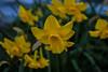 Daffodils (Lady Pandacat) Tags: california flowers nature pentax tehachapi pandacat 2013 tinaangel