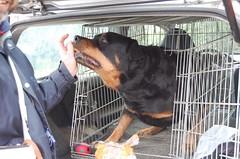 dsc_0155 (Joe-VR) Tags: cane lady ethan igor gatto animali cagliostro maincoon gatta tigro