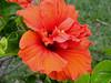 Double deep orange hibiscus (pat.bluey) Tags: flowers orange colour green australia hibiscus newsouthwales 1001nights coth supershot warilla flickraward spiritofphotography paololivornosfriends amazingdetails 1001nightsmagiccity hennysgardens sunrays5