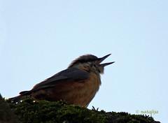 viganje (natalija2006) Tags: bird nature call slovenia slovenija whistle sittaeuropaea klic narava pti brglez viganje